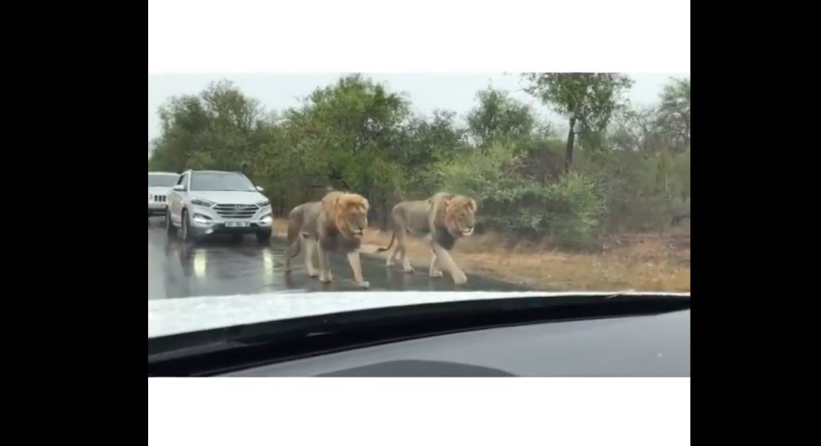 Lions Take Over Busy Road in South Africa